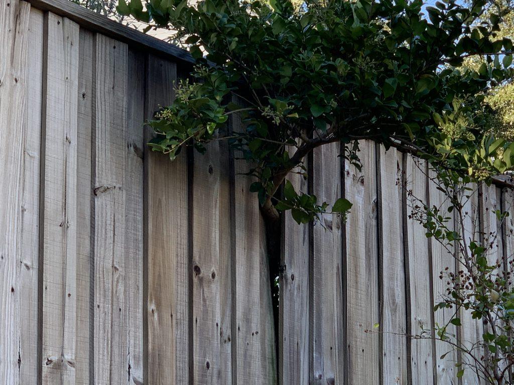 Tree Pushing Thorough Fence